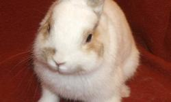 Rebeccas Rabbit Rescue currently has an adorable Netherland dwarf available. He is super sweet and very social! Not skittish and would be a great pet! He does not come with a cage but can if needed at extra cost:) This ad was posted with the Kijiji