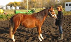 Rico is a part welsh 4 year old gelding.  He is trained to stop and turn with leg yields.  He has wonderful ground manners and has big soft eyes.  He wants to please and doesnt like to get into trouble. Our daughters use him to check cows, trail ride and