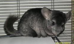 One female, ebony medium black with grey belly. Date of birth May 22, 2011. Asking $80.00   One female, standard grey a little brown on the tip of her tail.  Date of birth April 16, 2011. Asking $40.00. (She is a smaller chinchilla)   They are both very