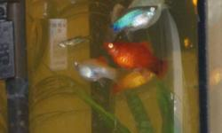 i have in adults some red,blue,speckled platys,black and silver mollys, asking 1.50 each and for the babys they are more like teenagers,a few platys,silver and black mollys and lots of orange and white mollys just over an inch long! asking .50 cents each