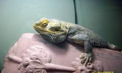 Bubba is friendly, intelligent, healthy guy who needs someone who can take the time to visit with him outside of his  .  Bubba is an adult loves parsley and eats crickets and mealworms dipped in vitamin powder.  Bubba comes with his cage that's on a