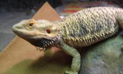 Adult female bearded dragon for sale, friendly and healhy. Never had any issues with health or people. She is 2 years of age.
