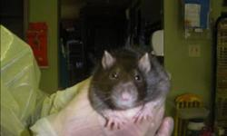 Breed: Rat   Age: Adult   Sex: F   Size: M Primary Color: Brown Secondary Color: White Weight: 0.33 Age: 0yrs 0mths 0wks   View this pet on Petfinder.com Contact: Surrey Branch BC SPCA   Surrey, BC
