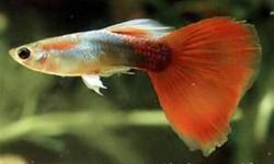 I have too many fish and need to get rid of some.  Will sell them for $1 per fish.   I have about 30+ adult guppies and 6-8 adult platies.  About a 50/50 mix of males and females.   They are all newly-mature and the male guppies have just started showing