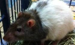 Breed: Rat   Age: Adult   Sex: M   Size: M Primary Color: Black Secondary Color: White Weight: .51 Age: 2yrs 0mths 0wks   View this pet on Petfinder.com Contact: BC SPCA Burnaby Branch | Burnaby, BC