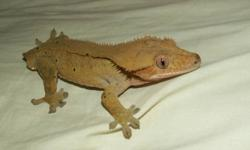 I currently have 2 tailless adult Male Crested Geckos for sale.  Both are eating well on Gecko Diet, Fruit Smoothie and appropriate sized crickets and are ready to breed!!  There are 2 pics of each gecko. $45 each or both for $70!! MUST PICK UP AS I DON'T