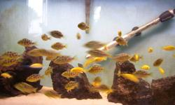 electric yellows and venustus babys are 12 for 10 bucks 3/4 of a inch. larger ones very from 1 inch to 1 1/4 8 for 10 bucks.