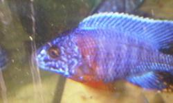 """Hi i have two male aulonocara cobues about 4"""" and im asking $30 a piece or $50 for both- i have no females. If interested leave name and number and i'll get back to you. Prices are firm-no trades-located in guelph. fish tank african cichlids aquarium"""