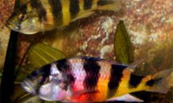 "Selling young Victorian Haplochromis sp. ""zebra obliquiden"" cichlids (males are showing nice color) - $3.00 each (4 remaining).  Also, a few young red zebra cichlids for sale (3 remaining - very good orange color) - $1.00 each (sold). Call Wayne,"