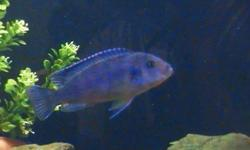 I have about 10, african cichlids about 1 inch in length (5 months old), I'm not sure what kind they are but attached are pictures of the parents.  $2 each