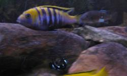 "Have a bunch of African Cichlids for sale. A few different kinds are available. Polits, Yellow tops, Afra cobue, and Electric Yellow juveniles 2"" - 2 1/2"". $2.00 each Adult breeding group of afra cobues. 1 male, 3 females Juveniles 1 male, 3 females"