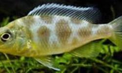 "i have 2 types of african cichlid babies that are ready to go ive been breeding cichlids for 8 years and take care of my fish way better then the pet stores..  the types are venustus nimbo & electric yellow labs which are both 2"" in size i will take $5.00"
