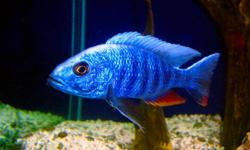 """I  have lots of fry left for sale $2 each (1""""-2"""") in size and about 50 left. 2 different kinds of african cichlids I have are Chiwindi (yellow and blue males)  and Electric Blue Ahli (white &blue male ahli in the picture) I would like to sell these fish"""