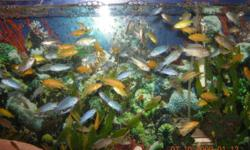 """I have Assorted African Cichlids for sale. Electric yellow,  Rusty Cichlids or Springerae, Socolofi, OB peacock. 1''to 2"""" is 2.00. Bigger than 2"""" is 5.00 and up and Sciaenochromis fryeri or Electric blue is now 3/4"""" is also 2.00.           Call Suzie at"""