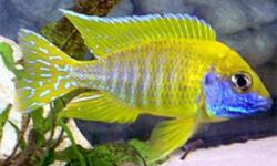 All my fish are very healthy and pure blood lines Delivery to south Edmonton  and Nisku Sat morning  the 21st my fish are deliver only to central spots in Edmonton and Nisku Wow I have some wonderful fish for sale I have a 250 gallon grow out tank and