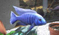 "Beautiful Electric blue cichlids, various sizes, 2 1/2"" to 4"", male and female. Outgrowing their tanks, need new homes. $10.00 Must go. 250-493-4780"