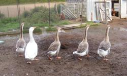 I have 5 geese for sale,4 african geese (1 Male & 3 hens) and 1 white hen.Not sure of breed,Would like $100 for all 5.