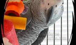 Congo African Grey Parrots For sale - $1500 EACH DNA sexed. Male Hatched October 2004 - $1500 Female Hatched 2002 - $1500 Good health and good feather. Not Tame (can be handled by experienced person) Both birds talk well. Email for more info - I'm happy