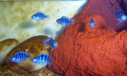 I have 30 kenyi cichlid fry, all around 1inch. - $2,50 ea GOOD QUALITY they all start purple but the males will change to yellow/orange over time. pic 2 is full grown kenyi's male and female.   If you buy alot I can give you a deal. They are very nice