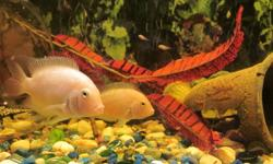 For Sale Albino Convict Cichlid Fry Beautiful fish. (also called Pink or White Convicts). They are aggressive and strong, as they are thriving in an aquarium with an Oscar, Jack Dempsey and Plecos...