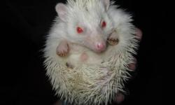Henrii is a male albino hedgehog(red eyes) and he loves to climb all over you. I unfortunately dont have the time or money to take care of him. Hes a well behaved hedgie and he warms up after about 6 months im sure. He comes with the cage, wheel, bed bag,