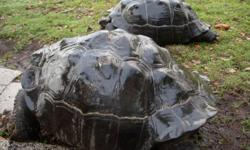 Hello, i am a Breeder of land Tortoises. I have tortoises ranging from males to females, babies to adults and breeding pairs of any tortoise breed that you will need like Aldabra Tortoises, Indian Star Tortoises, Egyptian Tortoises, Leopard Tortoise,