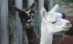 We have to decrease our herd due to health reasons. If you need farm status this is the way to go.  I have lots of alpaca's for sale starting at 150.00 for non papered males and starting at 300.00 for non papered females some bred for 2012. Lots of