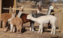 3 Huacaya female exposed Alpacas for sale. Friendly, good around children and other animals. They were sheared this spring, upto date on vaccinations. Grey female approx 10 years Proven caring attentive mother White and black female 3 years Great fibre