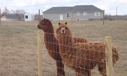 2 Huacaya female exposed Alpacas for sale. Friendly, good around children and other animals. They were sheared this spring, upto date on vaccinations. Grey female approx 10 years Proven caring attentive mother White and black female 3 years Great fibre 1