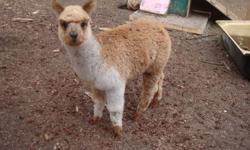 We have a 6mo intact male unregistered (gold/white) Sunny, 9yr old female proven caring mother unregistered (grey/black) Lady, 3yr intact male great fibre unregistered (gold) Fernando.  All are very friendly, they like their treats! They were just sheared