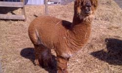 HERD DISPERSAL We are offering for sale our small herd of proven fibre males. We have 2 three year olds, 2 four year olds, and an eleven year old. We also have an approximately 3 year old guard llama as well. All the animals are intact and are up to date