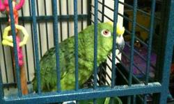 A  yellow crown  Parrot.Must sell to someone who  has time,which we donot no more.comes with a  large cage.