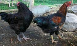 4 month old Americana roosters for sale. Primarily black in color. 5 available. $10 each.