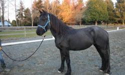 Anya is a gorgeous 2008 FHANA registered filly with lots of personality and a lovable disposition.  This beautiful filly scored Third Premie at the 2008 Keuring in Maple Ridge BC, has been ridden English and is happy in the arena and on the trail.  Super