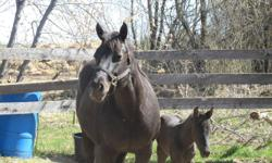 """1994 APHA """"Angel by Chance"""" brood mare, solid black, 15 hh, currently in foal by AQHA """"Just N April"""" - blue roan. She is green broke but has not been ridden much as used as a brood mare. She has excellent conformation, quiet & we've been present during"""