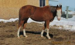 Reg'd 3 yr old Chestnut Overo Paint Mare. Allie is UTD on Shots and Farrier. She has been started under saddle but due to an issue with her foot that may cause eventual lameness, she's unable to worked for long periods of time or worked hard. She would