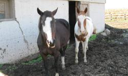 17 year old  APHA  gelding and 14 year old APHA mare (breeding stock) for sale would like to sell together.  Gelding has been trail ridden. Mare has been ridden around paddock .   Best offer  519-768-0506
