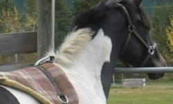 Mystery KitsMoonshine is bred to be athletic and is, has size and substance, as well as nice mind. Make nice pleasure mount &/or show horse. Go western or english. Kit is very friendly. Kit is already getting use to being tacked and should be ready to