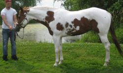 Simply getting out of breeding and want this mare to have a good breeding home to prove herself as a broodmare or break her to ride and have some fun. Remember now whoever you breed this mare to she will have a Tobiano foal so the possibilities are