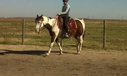 Big solid ranch seasoned bay tob/overo paint gelding. 15 hands, quiet and calm, been used on cattle ranch and trail riding. Good with kids and advanced beginners, has been used in lessons.Has a big forward trot and can cover the miles, and eye catching
