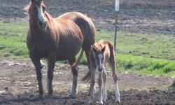 Registered APHA weanling filly, she is strait, built, beautiful head, kind eye and very athletic should mature around 15h to 15'3h. This filly will take you to the show pen or make you an awesome barrel horse, could go anyway you want. Grandaughter or