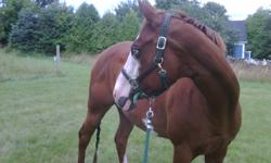 """Chus The Blues """"Holly"""" 2001 Sorrel Overo APHA Mare 16hh Sire: Chus the Paycheck APHA Dam: Impressive Guess AQHA    Offering APHA mare Chus The Blues for sale. If you are looking for a competitive horse for breed and open shows, she is it! Beautiful"""