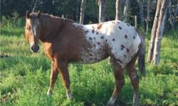 Hello We are needing to sell our Appaloosa Stallion as we are bringing in another as we are keeping his Daughters Dream was broke to ride but has not been ridden in awhile as he has just been used as a stud He is 7 years old He has a Beautiful pedigree