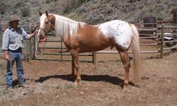 Appaloosa palomino stallions standing at stud Dark gold palomino blanketed appaloosa stallion and golden Leopard appaloosa stallion super nice dispositions $500 for registered mares and $250. for unregistered mares 2010 fillies aslo for sale contact