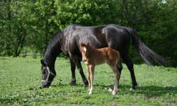 Quarter horse Black mare  for sale sire is a AAA son of easy jet and the mother (winner of over $100,000) is a qranddaughter of Bold Ruler. She has had 2 foals both are at my farm. She is a stout  sound kind mare and a great mother. 11 years old . She