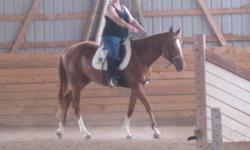 Indie is rising 4 years old. She is broke w/t/c under saddle, and has been introduced to vices such as boots, martingales, blankets, etc. She has also been hacked out on the road and trailered. She has done plenty of ground work including but not limited