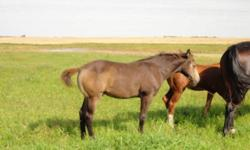 We just weaned our 2011 foals. We have many colors: buckskin, chocolate palomino, palomino, gray, bay, chestnut. Many of the foals have lots of chrome as well. These babies have wonderful pedigrees and are bred to do what you want them to do. Call for
