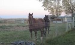 : CJ Bunny Mackay is a chestnut mare foaled May 9, 1996. She was sired by Classic Jack 1,094,344 halter points, grand champion, western pleasure 8 pts. who was sired by Two Eyed Jack AQHA champion, superior halter, ROM Show leading sire of AQHA Champions.