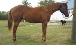 2010 AQHA filly.  Sired by Radical Roses by Radical Revolution.  Also has Mr. Te Rosebud, Zippo Pine Bar, Golden Echo Bar and Mr. Hollywood Zipper on her papers. She's also NAERIC enrolled & eligible for the MRCHBA & Harvest Gold futurities.  She is also