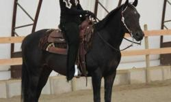 Well trained super showy gelding 15.1hh Very well bred 11 years old. This ad was posted with the Kijiji Classifieds app.